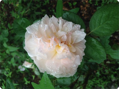 rosegarden019